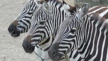 três pequenas zebras no zoológico com listras