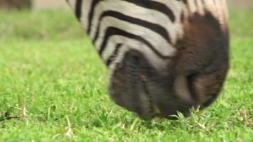 close-up de zebra pastando grama baixa, áfrica do sul video