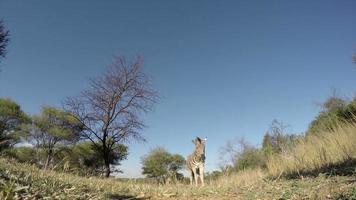 filmagem espetacular de zebra andando sobre a câmera, áfrica do sul video