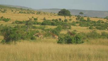 AERIAL: Giraffes in sunny african safari video