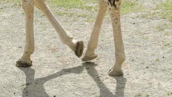 Girafe à longues pattes marchant sur le petit zoo