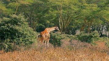Giraffe, die Blätter im Nakuru-Park isst