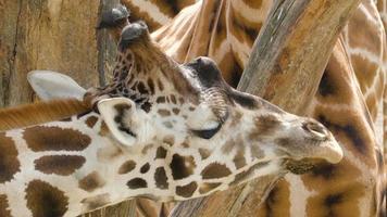 regarder de plus près le visage de la girafe