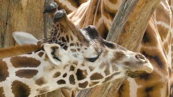 olhar mais atento do rosto da girafa