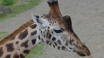 olhar mais atento do longo pescoço da girafa