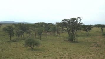 AERIAL: Flying above giraffes in African safari video