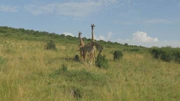 AERIAL: Giraffes in the middle of Kanyan savannah