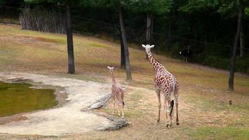 Mother giraffe and cub in summer park