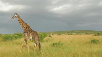 Zeitlupe: Giraffenherde auf afrikanischer Safari