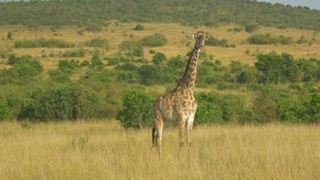 Antenne: herumfliegen wilde Giraffe in Afrika