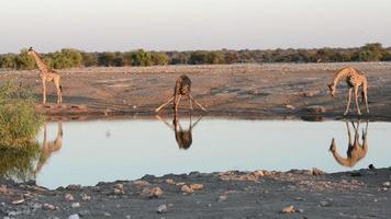 Giraffen trinken auf lustige Weise Wasser
