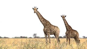 giraffa camelopardalis grasen etosha national video