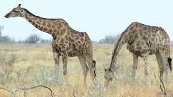 Giraffa camelopardalis al pascolo parco nazionale etosha, ombika, kunene, namibia, vera fauna selvatica video