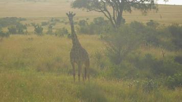 Antenne: Fliegen um eine junge Giraffe in der afrikanischen Savanne