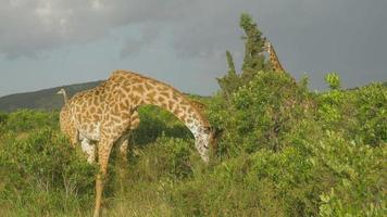 SLOW MOTION: Giraffe eating leaves in Maasai Mara, Kenya