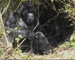 Silverback gorilla di montagna si siede e il giovane lo guarda