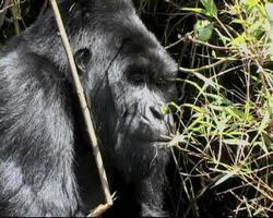 gorilla di montagna silverback tira le foglie dal bambù con le labbra