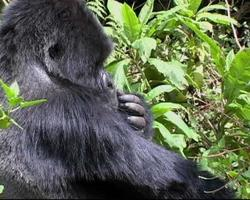 Mountain gorilla silverback picks something from his fur video