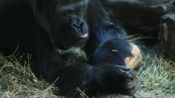 gorila comiendo video