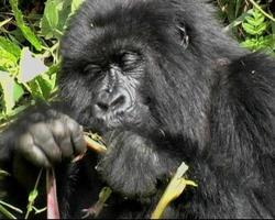 gorilla di montagna tira su la vegetazione e mangia