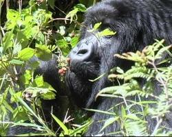 gorila de montaña recoge y come bayas cu