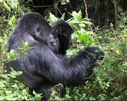 il gorilla di montagna spoglia le foglie delle viti e mangia