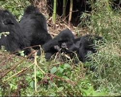 Mountain gorillas eating greenery