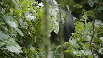 gorilla abbassa il gambo di bambù e mangia le foglie