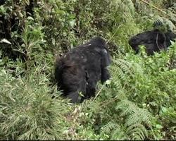 Mountain gorillas walking down trail in forest