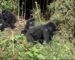 gorilla di montagna madre con bambino corre in discesa e si siede