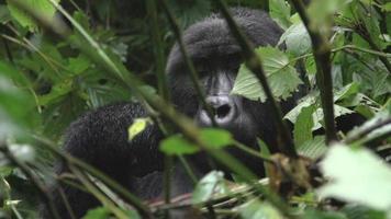 gorilla che mastica germogli di bambù al rallentatore