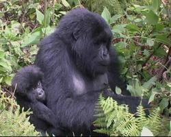 gorila de montaña, madre e hijo, sentado, en, bosque, claro video