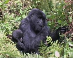 Mountain Gorilla mother and infant  in forest glade