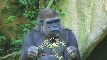 gorila protege la comida video