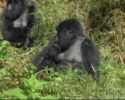 Mountain Gorilla mother with suckling infant
