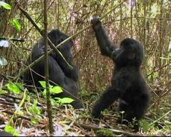 giovane gorilla di montagna gioca nel bambù