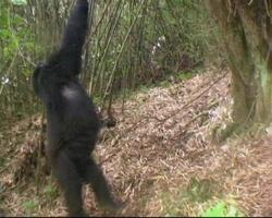 junger Berggorilla schwingt von der Rebe im Regenwald