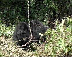 due giovani gorilla di montagna giocano a lottare nella foresta pluviale