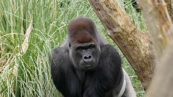 um gorila adulto escondido na grama alta