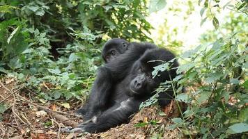 gorila video