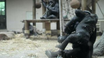 gorillas playing in zoo