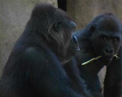 vigia do gorila video