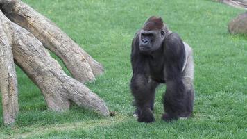 gorilla adulto