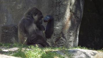 gorilla seduto all'ombra e masticando il bastone