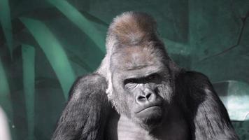 gesto facial de un gorila macho, severo espalda plateada. video