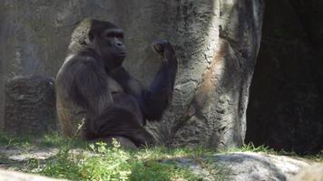 gorila pega gravetos e começa a mastigar folhas