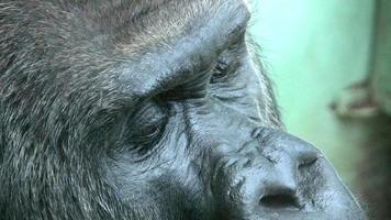 gorilla hd ntsc