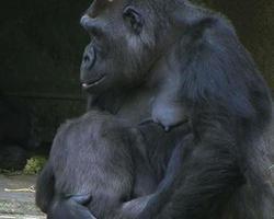 gorila segurando bebê