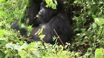 gorila salvaje ruanda bosque tropical
