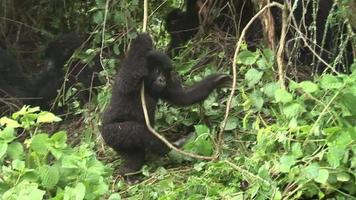 gorilla selvaggia Ruanda foresta tropicale